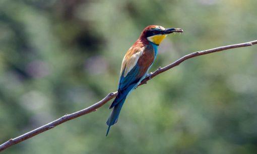 natur-foceisonz-gruccione-uccell_Isiwal-ccbysa